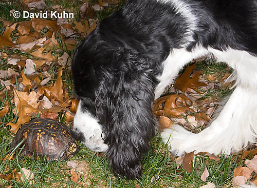 1002-0813  Springer Spaniel Dog Investigating Male Eastern Box Turtle (Tucked in Shell), Terrapene carolina © David Kuhn/Dwight Kuhn Photography.