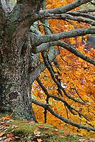 Large maple tree in autumn, Bass Lake, near Blowing Rock, North Carolina