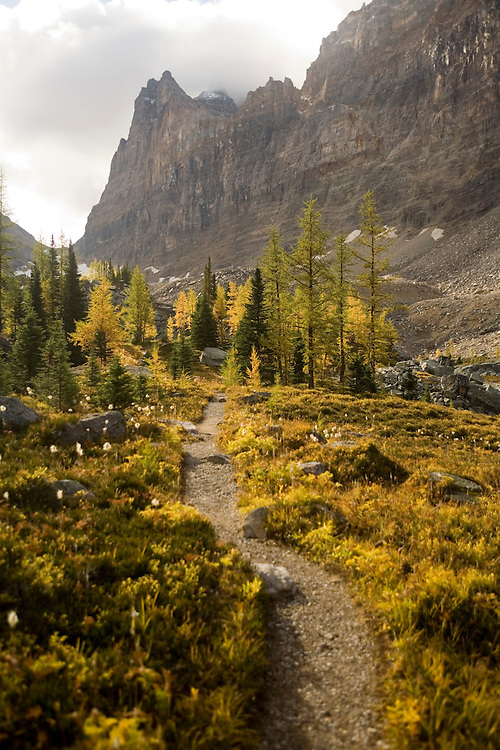 Golden Larch fall colors on Opabin Plateau, Yoho NP