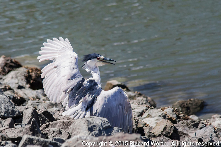 This Black-crowned night heron has just landed on a new spot along the rocky shores of the San Leandro Marina.