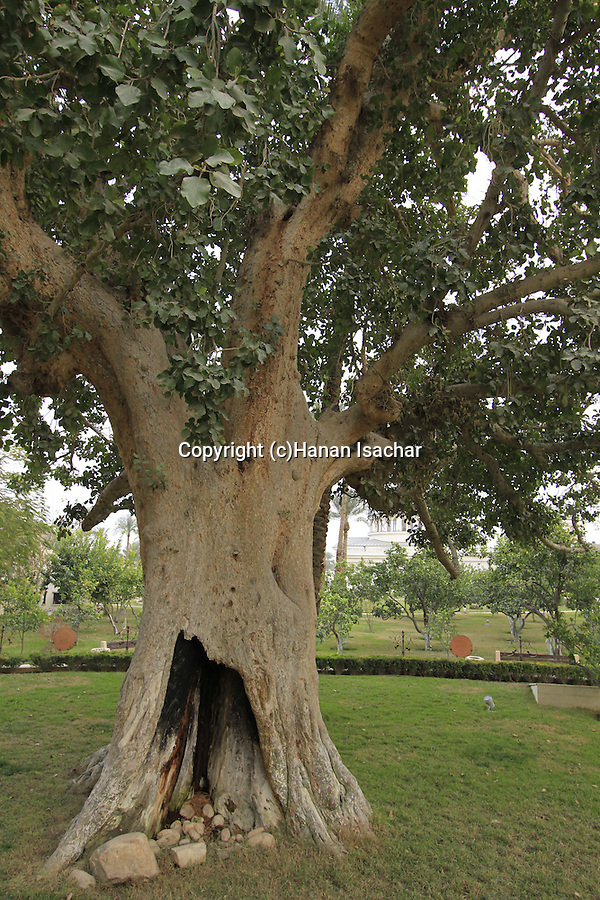 Zacchaeus' sycamore fig tree in Jericho