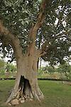 Zacchaeus' sycamore fig tree in Jericho