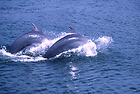 Tuimelaar (Tursiops truncatus)..