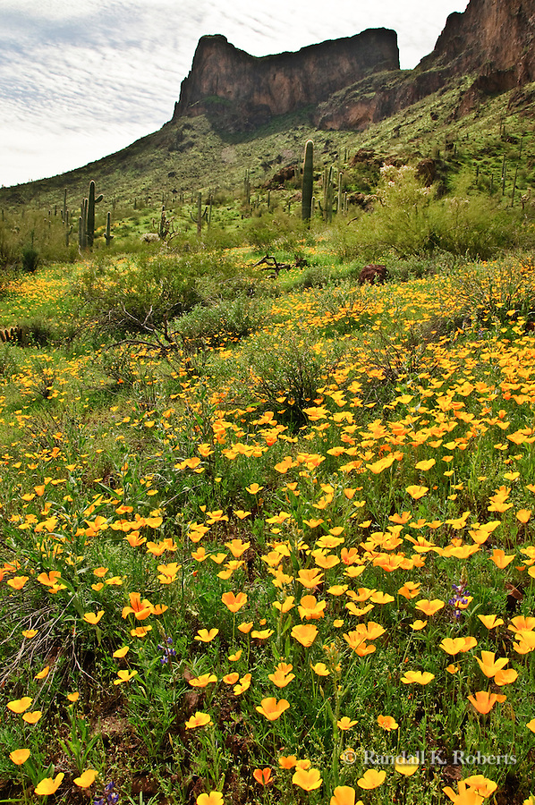 California poppies (Eschscholzia californica), bloom in the Sonoran desert around Picacho Peak, north of Tucson, Arizona