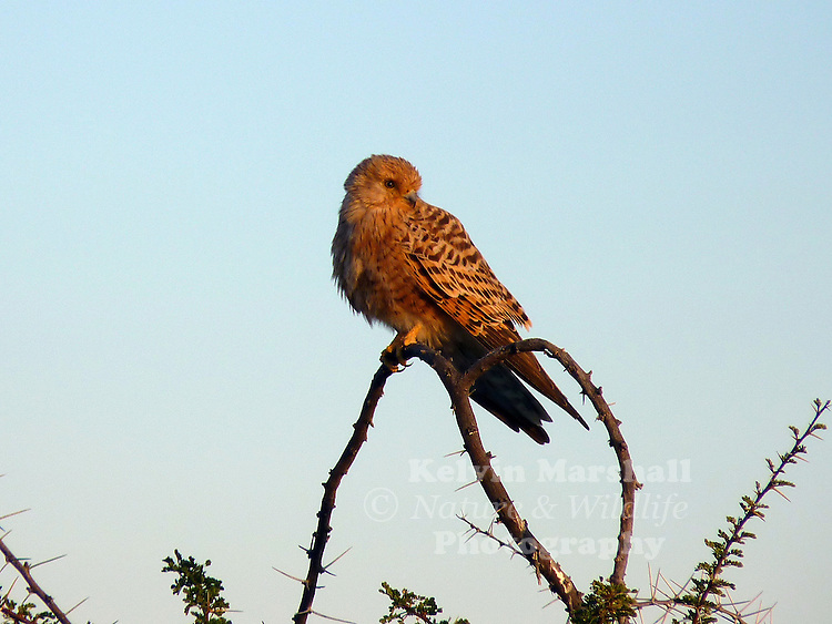 The Greater Kestrel or White-eyed Kestrel (Falco rupicoloides) is a bird of prey belonging to the falcon family Falconidae. It is one of the largest kestrels and is found in open country in southern and eastern Africa.