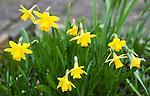 Brussels - Belgium, April 04, 2013 -- Yellow mini-Daffodils (Flowers) -- Photo: © HorstWagner.eu