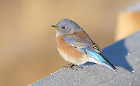 Bluebird - Western