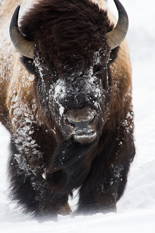 A bison trudges through the blowing snow in Yellowstone National Park, Wyoming.