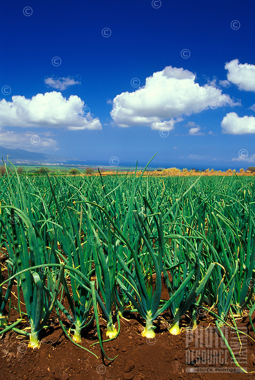 An upcountry Kula onion farm overlooks Maui's North Shore. Famous for being a sweet onion, the Kula or Maui onion can be eaten like a fruit.