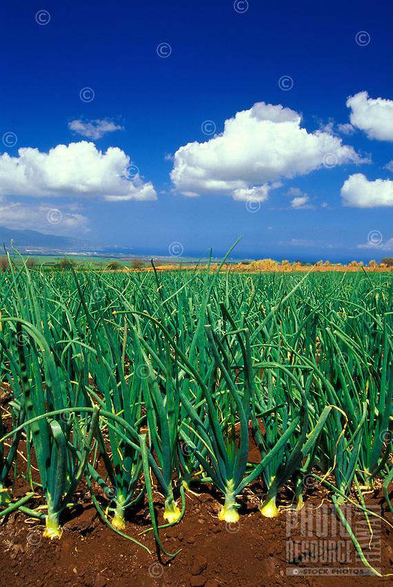 An upcountry Kula onion farm overlooks Maui's North Shore. Famous for being a sweet onion, the Kula or Maui onion can be eaten like a fruit.