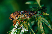 Close up of a Cicada.