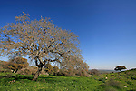 Israel, Lower Galilee. Oak tree by Bet Keshet scenic road