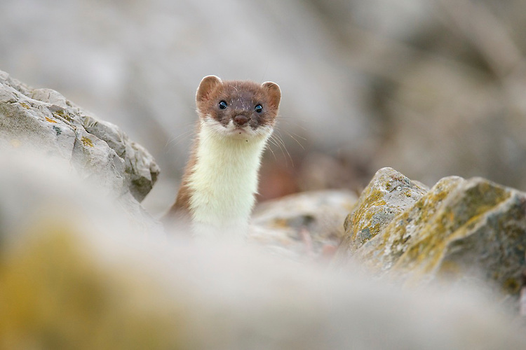 A young Stoat (Mustela erminea) pokes it's head above rocks along the north Wales coast line.