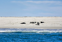 Sunbathing seals, Monomoy National Wildlife Refuge, Chatham, Cape Cod, Massachusetts, USA.