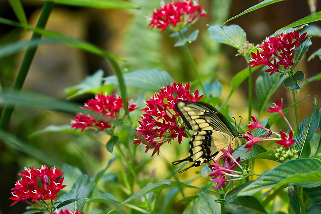 A gentle image of a Eastern Tiger Swallowtail sipping from a trumpet-shaped, red flower in a garden in North Carolina.