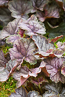 Ornamental foliage of Heuchera Venus, perennial shade garden plant with pretty leaves, silver purple
