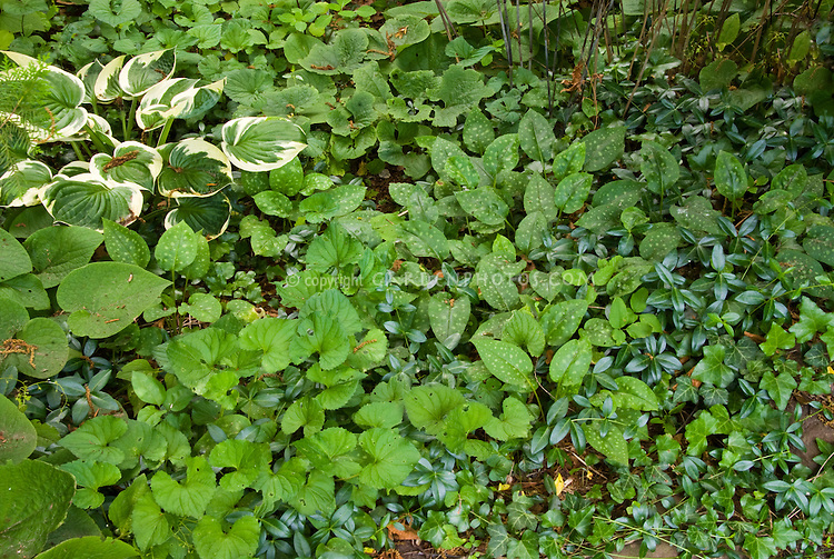 Groundcovers In Shade Plant Flower Stock Photography