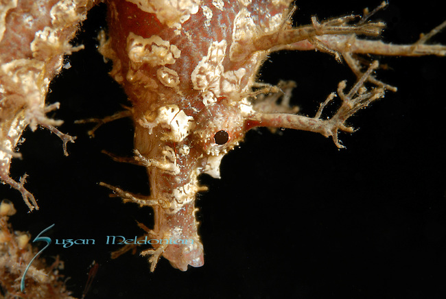 Frilled Seahorse close up, Hippocampus erectus