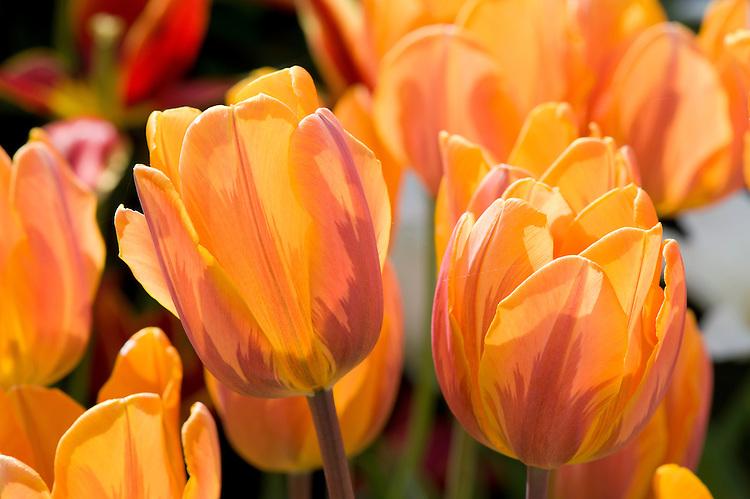 Tulipa 'Princess Irene', late April.