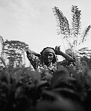 SRI LANKA, Asia, portrait of a tea picker picking leaves (B&W)