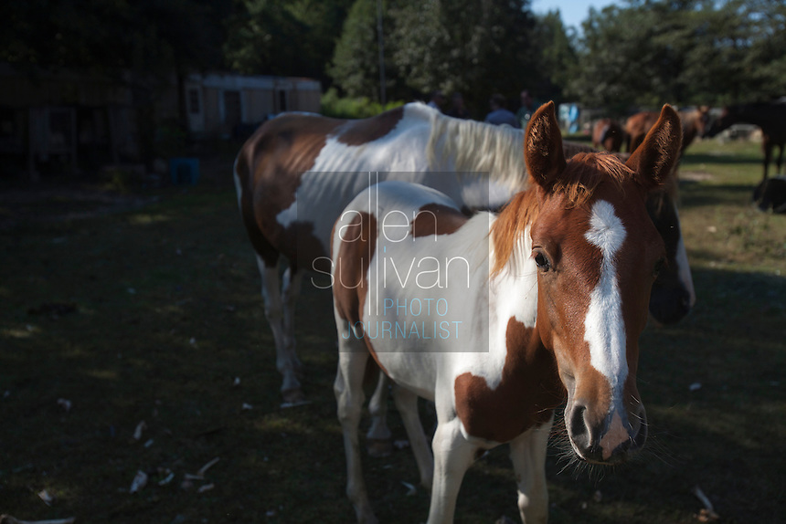 Horses wander during a raid on a puppy mill in Johnston, SC on Tuesday, Sept. 11, 2012. HSUS workers found over 200 dogs, nine horses and 30-40 fowl.