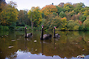 12/10/16 <br /> <br /> Three black swans are framed by a kaleidoscope of autumn colour on Mill Pond in Dimmingsdale Woods near Alton, Staffordshire.<br /> <br /> All Rights Reserved: F Stop Press Ltd. +44(0)1773 550665   www.fstoppress.com