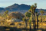 Sunlit Joshua Trees and boulder rock outcrop, near Quail Springs, Joshua Tree National Park, California