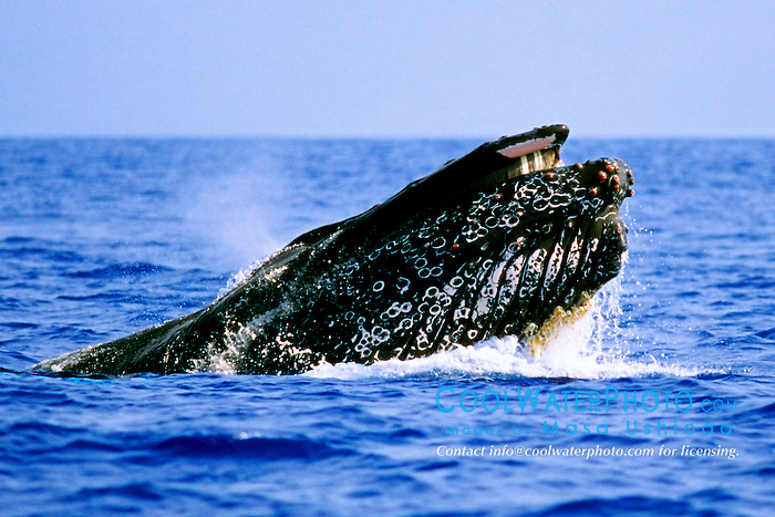 male humpback whale in competitive group, .Megaptera novaeangliae, lunging, .Hawaii (Pacific)