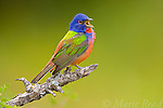 Painted Bunting (Passerina ciris) male, singing in spring, Wichita Mountains National Wildlife Refuge, Oklahoma, USA