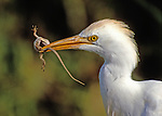 Cattle Egret with prey, Everglades NP, Florida