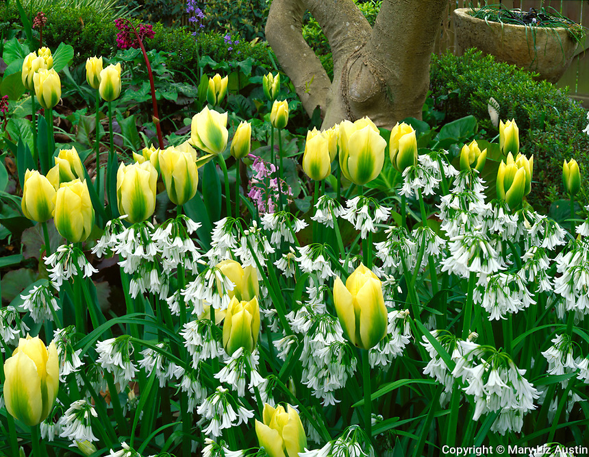 Vashon Island, WA<br /> Pale yellow tulips paired with white wood hyacinths under a magnolia tree in spring
