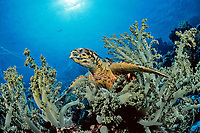 Hawksbill turtle, Eretmochelys imbricata, feeding on soft corals, Egypt, Zabargad, Zabarghad, Red Sea, Northern Africa