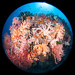 Misool, Raja Ampat, Indonesia; Fiabacet area, a colorful soft coral reef with pinks, oranges, reds and scattered green black sun corals fill the frame with the sun visible overhead