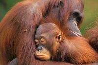 Orangutans (Pongo pygmaeus)