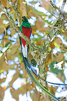 resplendent quetzal, Pharomachrus mocinno, male on a tree branch, Costa Rica, Central America