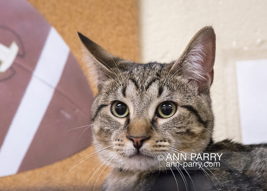 Wantagh, New York, USA. 7th February 2016. Tiger the tabby cat, one of the team players in the Hallmark Channel Kitten Bowl III, came with his new family, C. Brown and M. Benedetto, of Massapequa, to Last Hope Animal Rescue's Open House, where the adoption center's volunteers and visitors watch the game on TV and cheer on their team, the Last Hope Lions. Over 100 adoptable kittens from Last Hope Inc and North Shore Animal League America participated in the taped games, and the Home and Family Felines won the 2016 championship, which first aired the day of Super Bowl 50.