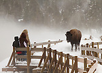 Bison on the boardwalk