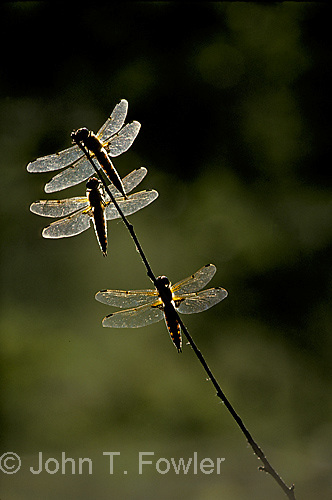 Dragonflies at rest  twighlight