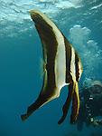 Kenting, Taiwan -- Diver looking at a juvenile longfin spadefish (Platax teira).