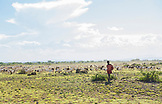 TANZANIA, a Maasai Boy watching over herd of sheep in Arusha National Park