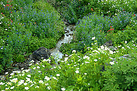 Spring flowers in Albion Basin, Wasatch Mountains, Utah. Mountain Stream. Utah, Wasatch Mountains, Albion Basin.