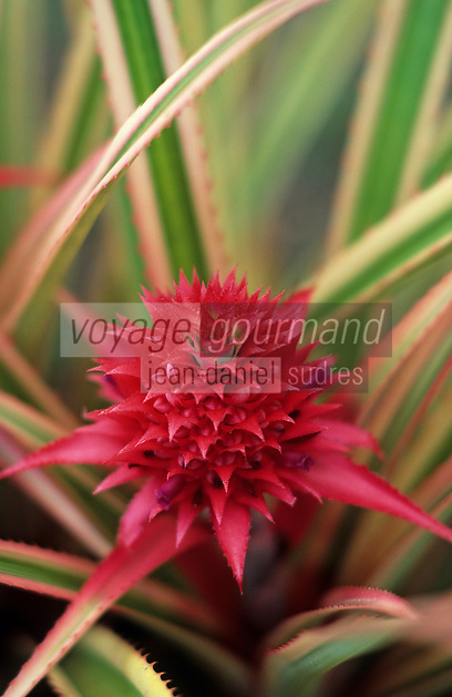 """France/DOM/Martinique/Les Trois-Ilets/Parc des Floralies: Ananas """"Comusus Variegatus"""""""