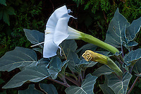 Datura wrightii or Sacred Datura, poisonous perennial native plant with white flower in New Mexico backyard garden, design by Judith Phillips