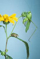Katydid and gray tree frog together on a Jerusalem artichoke --Sometimes its like we don't speak the same language
