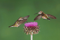 Broad-tailed Hummingbird, Selasphorus platycercus, females in flight feeding on Musk Thistle (Carduus nutans),Rocky Mountain National Park, Colorado, USA, June 2007