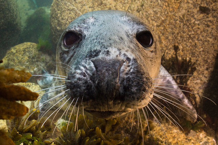 Gray seal: Halichoerus grypus at Lundy Island, United Kingdom