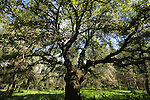 Israel, Samaria, Mount Tabor Oak at Iron forest