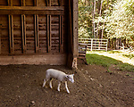 July 31, 2017. Chapel Hill, North Carolina.<br /> <br /> June is the daughter of Rameses the Ram. She has a brother who is kept at another farm as he and his father can be combative. <br /> <br /> The Hogan family have long been the caretakers of Rameses the Ram. The current Rameses is the 21st in the line of the University of North Carolina's live mascot.