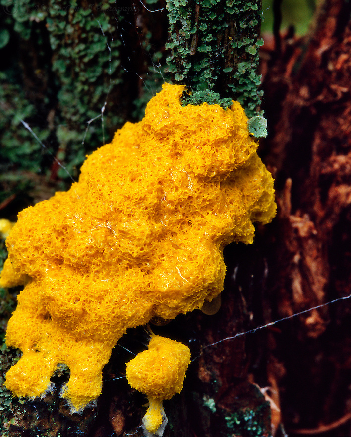 """""""Slime Mold""""<br /> Bass Harbor Head,<br /> Acadia National Park, Maine<br /> 2007<br /> <br /> This eye catching little specimen is cursed.  It has to have the worst name possible for something so interesting.  It has fabulous textures and a brilliant color.  It also has an interesting story.  I found this early one morning while hiking out to the Bass Harbor Head Lighthouse.  Later that day, when I returned to see the lighthouse, the specimen was gone!  It """"slimed"""" away.  What kind of critter is this?  Is it more like a plant or animal?  By reading some of the immense amount of information about it on the internet, one can conclude that this is truly one strange living thing that does deserve a better name."""