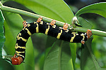 Frangipani Hawk Moth, Caterpillar, Pseudosphinx tetrio, Tobago, feeding on leaf.Tobago....